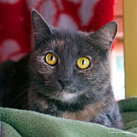 Domestic Shorthair Cat for adoption in Tucson, Arizona - Dido