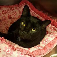 Domestic Shorthair Cat for adoption in Goshen, New York - Phantom