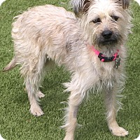Adopt A Pet :: Lemon Drop - MEET ME - Norwalk, CT