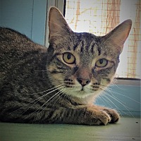 Domestic Shorthair Kitten for adoption in Savannah, Georgia - Asbury