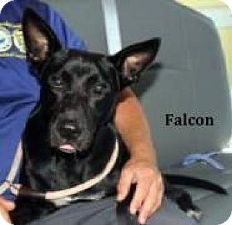 Labrador Retriever Mix Dog for adoption in Cairo, Georgia - Falcon