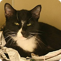 Domestic Shorthair Cat for adoption in Richland Hills, Texas - Sharna