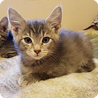 Adopt A Pet :: SUGAR BEAR - Mesa, AZ