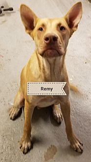Shepherd (Unknown Type) Dog for adoption in Lithia, Florida - REMY