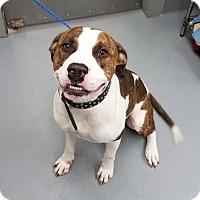 American Bulldog Mix Dog for adoption in Mission, Kansas - Ferris Wheel