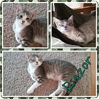 Adopt A Pet :: Razor - Cedar Springs, MI