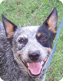 Cattle Dog Dog for adoption in Guthrie, Oklahoma - Allie