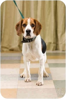 Beagle Dog for adoption in Portland, Oregon - Hulk