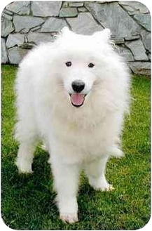 Samoyed/American Eskimo Dog Mix Dog for adoption in Marina del Rey, California - King Sammy
