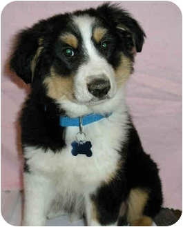 Collie Mix Puppy for adoption in Overland Park, Kansas - Ace