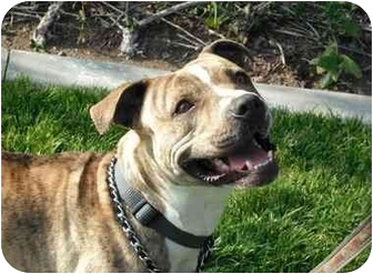 American Pit Bull Terrier/American Pit Bull Terrier Mix Dog for adoption in Bellflower, California - Rainbow