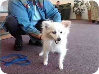 Pomeranian Dog for adoption in Kellogg, Idaho - Tessa