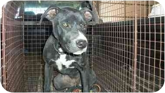 Pit Bull Terrier Mix Puppy for adoption in McIntosh, New Mexico - Millie