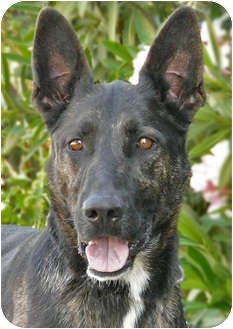 Dutch Shepherd Mix Dog for adoption in Los Angeles, California - Gitana von Kern