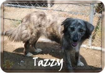 Australian Shepherd/Setter (Unknown Type) Mix Dog for adoption in Lafayette, New Jersey - Tazzy