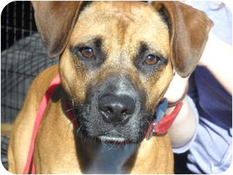 Boxer/Terrier (Unknown Type, Medium) Mix Dog for adoption in East Hartland, Connecticut - Buddy