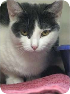 Domestic Shorthair Cat for adoption in Norwalk, Connecticut - Daisy