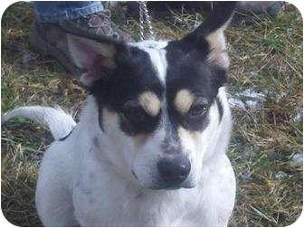 Corgi Mix Dog for adoption in Foster, Rhode Island - Corky
