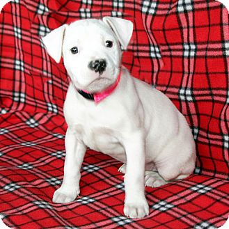 Boxer/American Bulldog Mix Puppy for adoption in Howell, Michigan - Lizzie