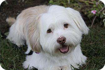 Westie, West Highland White Terrier Mix Dog for adoption in Newport Beach, California - BAYLEE