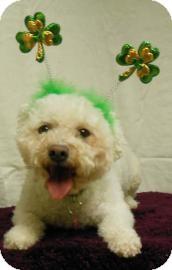 Bichon Frise Mix Dog for adoption in Gary, Indiana - Agapi