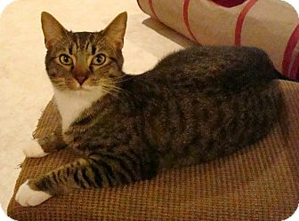 Domestic Shorthair Cat for adoption in Port Republic, Maryland - Rocky