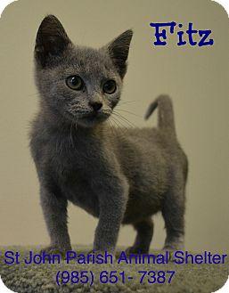 Domestic Shorthair Kitten for adoption in Laplace, Louisiana - Fitz