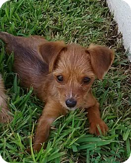 Chihuahua Dog for adoption in Mary Esther, Florida - Browne