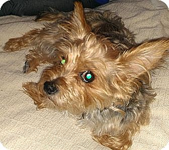 Yorkie, Yorkshire Terrier Dog for adoption in Orange, California - Scottie