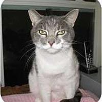 Adopt A Pet :: Little Gray - Shelton, WA