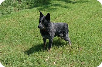 Australian Cattle Dog/Border Collie Mix Dog for adoption in Conway, Arkansas - Ocee