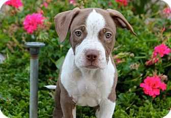 American Pit Bull Terrier Mix Puppy for adoption in Los Angeles, California - Freckles