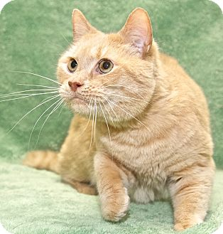 Domestic Shorthair Cat for adoption in Fairfax, Virginia - Riley