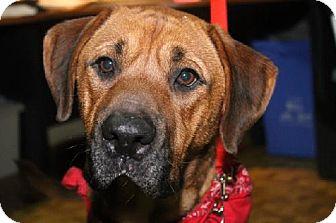 Rhodesian Ridgeback Mix Dog for adoption in London, Ontario - Carson