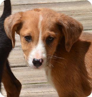 Hound (Unknown Type) Mix Puppy for adoption in Woodlyn, Pennsylvania - Dora