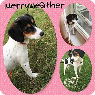 Beagle/Collie Mix Puppy for adoption in DOVER, Ohio - Merryweather