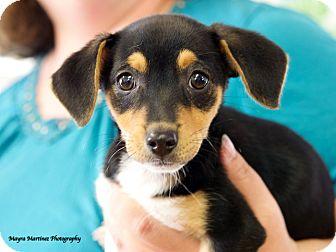Beagle Mix Puppy for adoption in Hamburg, Pennsylvania - Ella