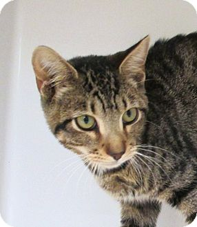 Domestic Shorthair Cat for adoption in Red Bluff, California - Parker-Low Fee/Neutered