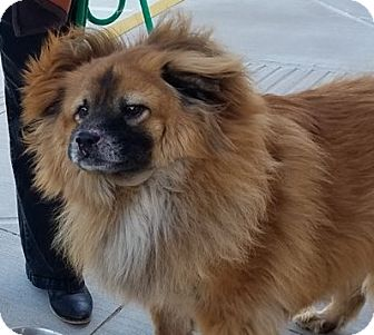 Chow Chow/Collie Mix Dog for adoption in Weatherford, Texas - Bentley