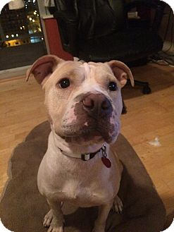 """American Staffordshire Terrier/Shar Pei Mix Dog for adoption in Chicago, Illinois - Tanji """"Tea"""""""