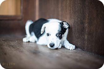 Australian Cattle Dog/Australian Shepherd Mix Dog for adoption in Fredericksburg, Texas - Grace