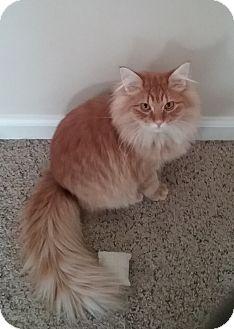 Domestic Longhair Kitten for adoption in Cedar Springs, Michigan - Woody