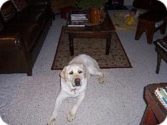 Labrador Retriever Dog for adoption in Palatine/Kildeer/Buffalo Grove, Illinois - Murphy
