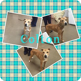 Shepherd (Unknown Type) Mix Dog for adoption in Steger, Illinois - Colton