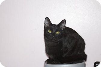 Domestic Shorthair Cat for adoption in Ellicott City, Maryland - .Shittake