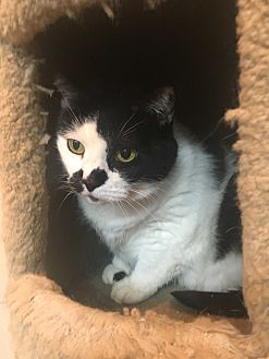 Domestic Shorthair Cat for adoption in Saylorsburg, Pennsylvania - Spot