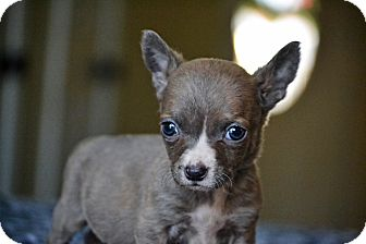 Chihuahua/Staffordshire Bull Terrier Mix Puppy for adoption in Bedminster, New Jersey - Finch