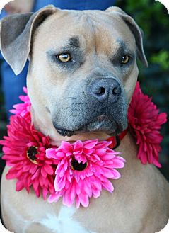 Pit Bull Terrier Mix Dog for adoption in South El Monte, California - Nahla