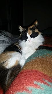 Calico Cat for adoption in Round Rock, Texas - Cali