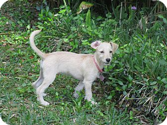 Terrier (Unknown Type, Small)/Chihuahua Mix Puppy for adoption in Raleigh, North Carolina - A - FRANCIE